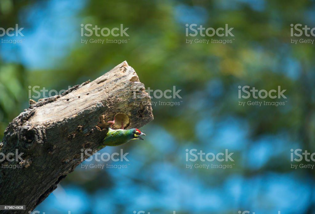coppersmith barbet, Birds are planting trees to nest. stock photo