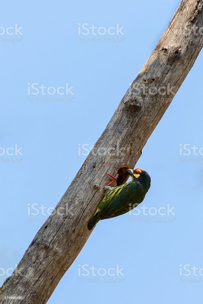 coppersmith barbet going to its nest stock photo