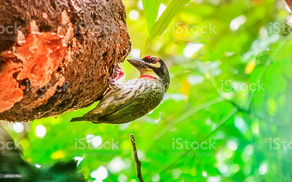 Coppersmith Barbet making its nest in the trree. stock photo
