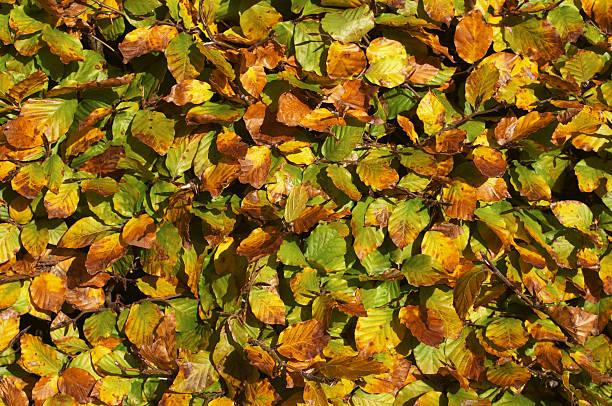 beech hedge im herbst hintergrund textur - 525d stock-fotos und bilder