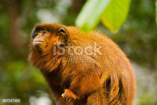 Close up of a single Coppery Titi monkey. It is a small monkey native to Brazil.