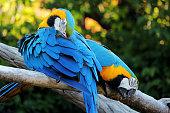Due pappagalli dai colori vivaci giallo e blu della specie Ara ararauna