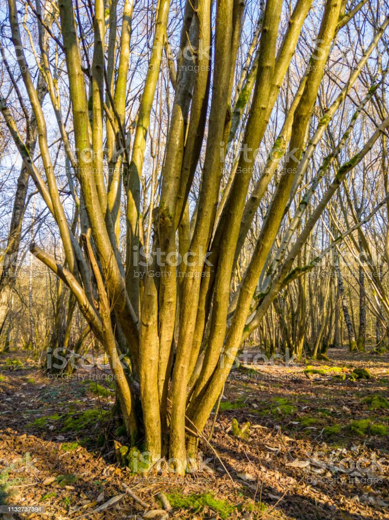 Coppiced tree in a woodland stock photo