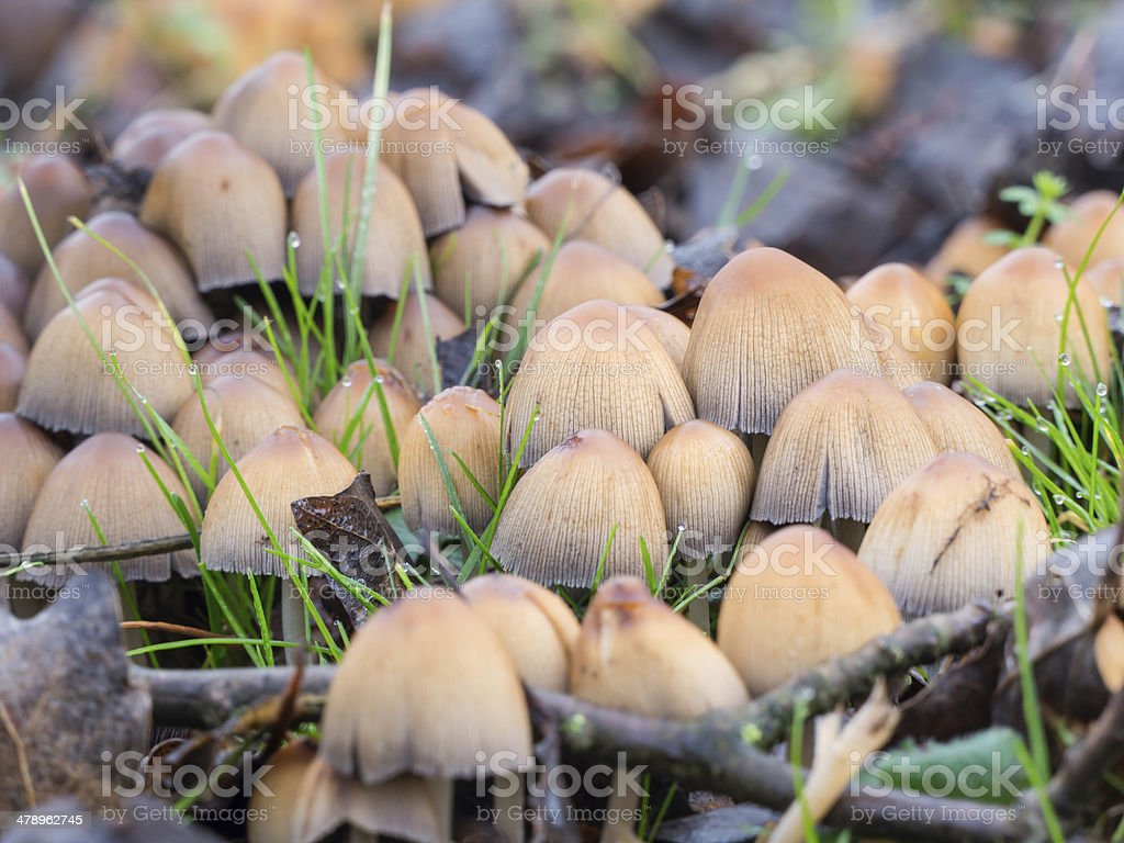 Coprinellus micaceus mushroom royalty-free stock photo