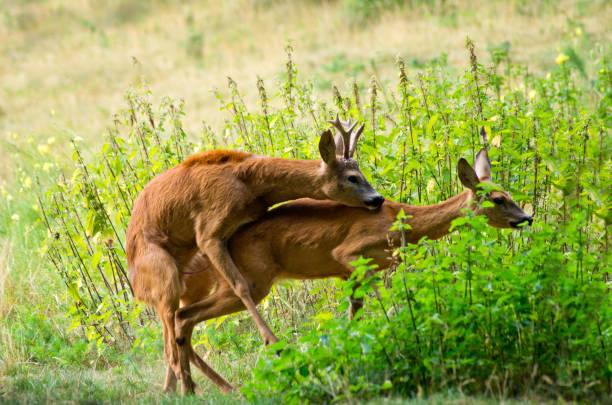 copulate of Roe deer Capreolus capreolus stock photo