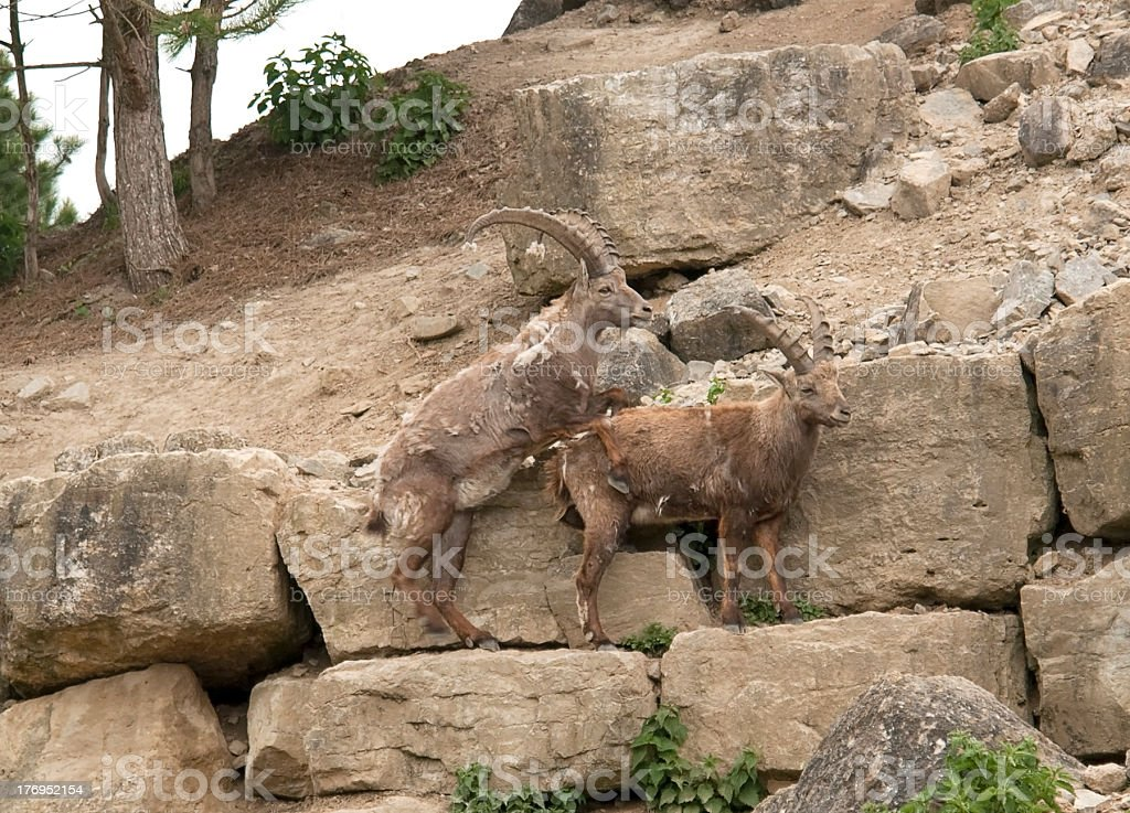 copulating Alpine Ibex stock photo