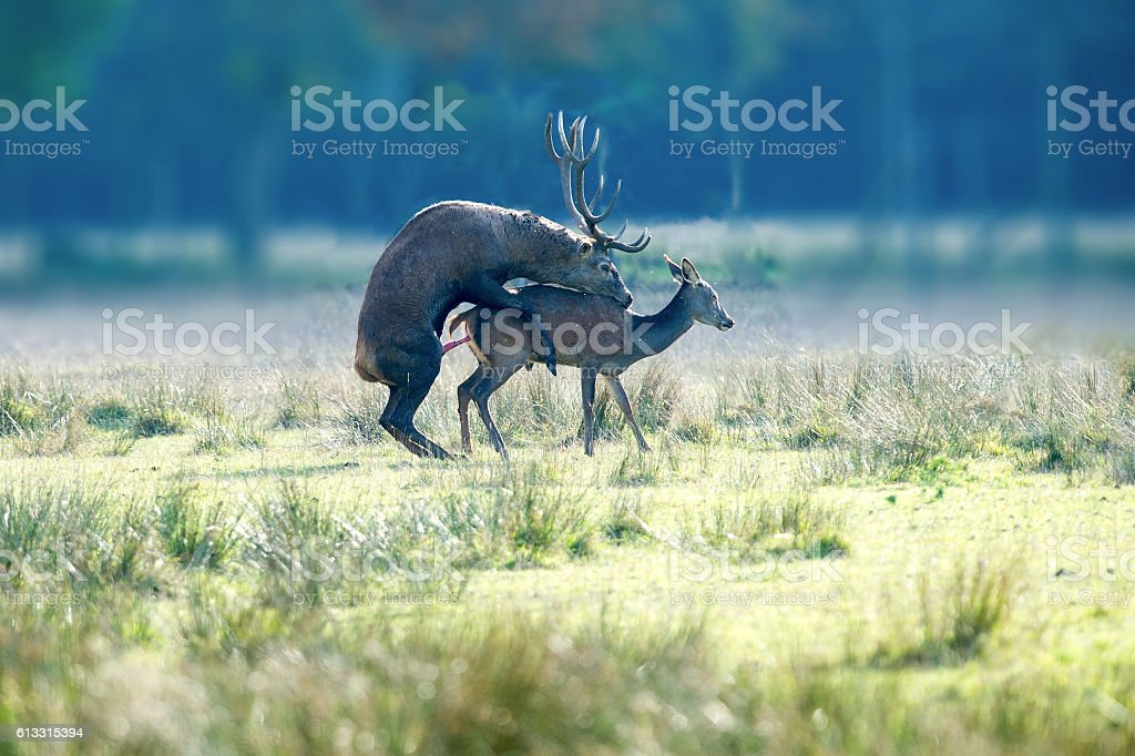 Copulating deers stock photo