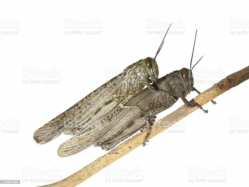 Copulating grasshoppers royalty-free stock photo