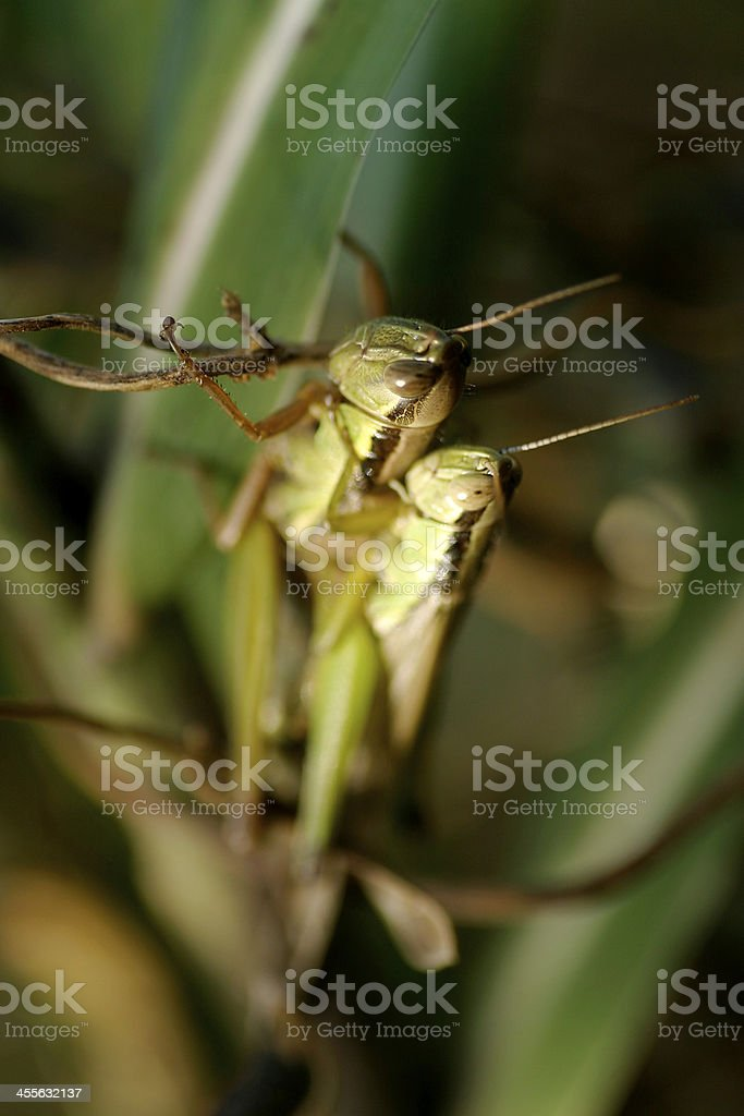Copulation of grasshopper in Tokyo,Japan royalty-free stock photo