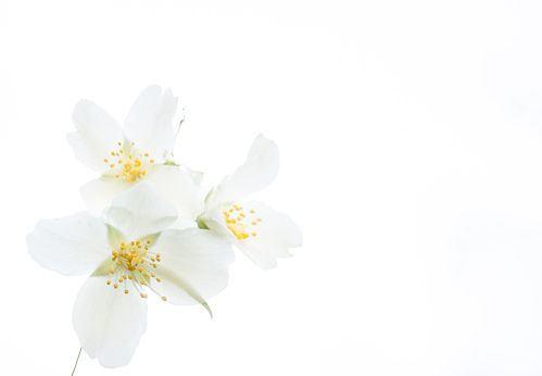 Copy space with jasmine blossoms