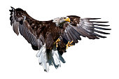 A bald eagle with spread claws on white background