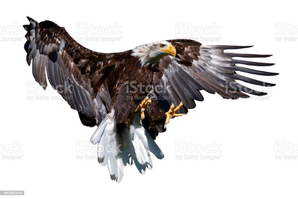 copy spacebald eagle in flight stock photo