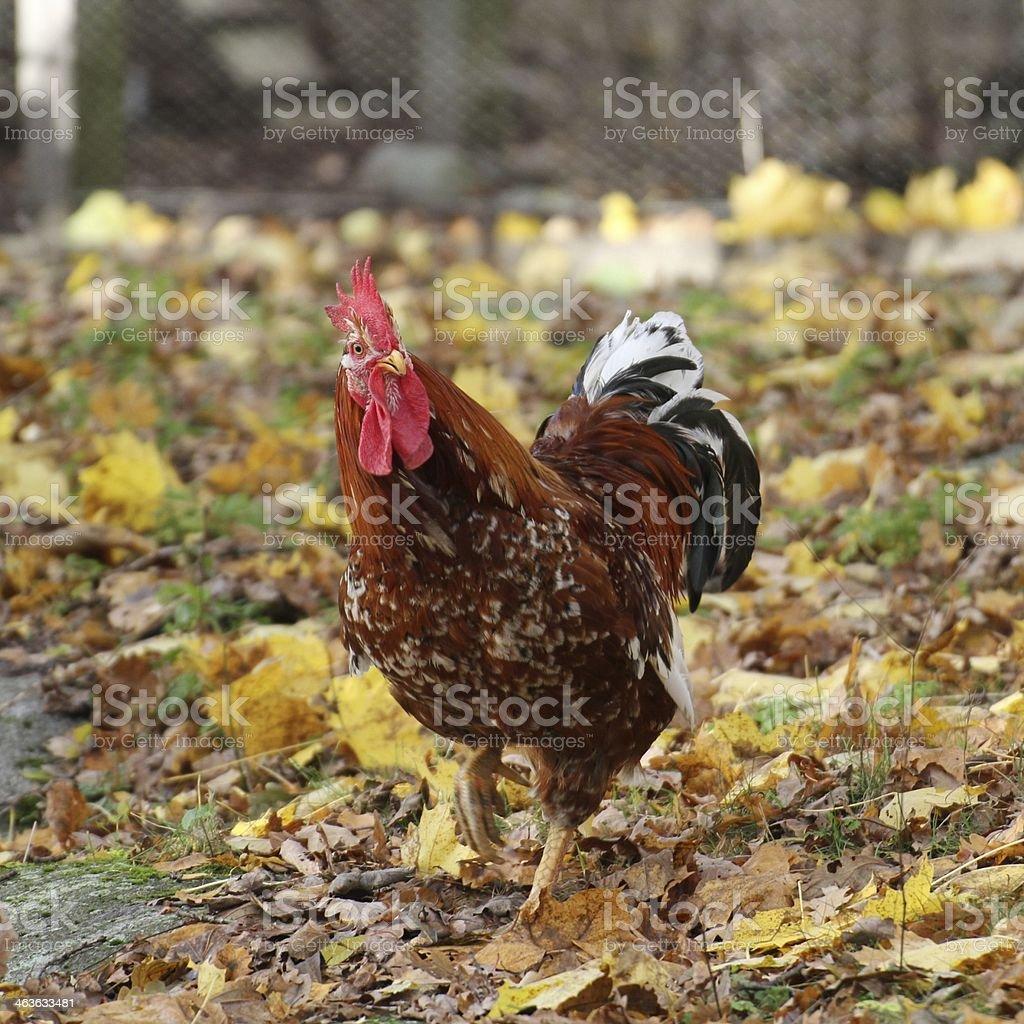 Coq stock photo
