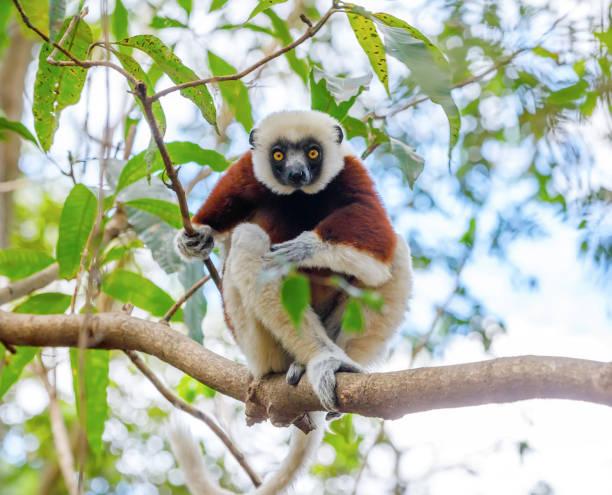 coquerel ' s sifaka, madagaskar djurliv - lemur bildbanksfoton och bilder
