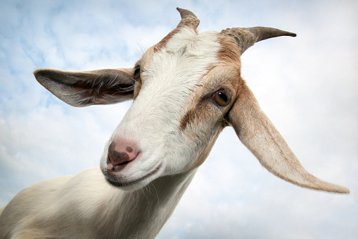 Goat's portrait and her glimpse with question