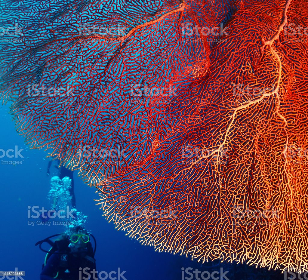 Coral and diver stock photo