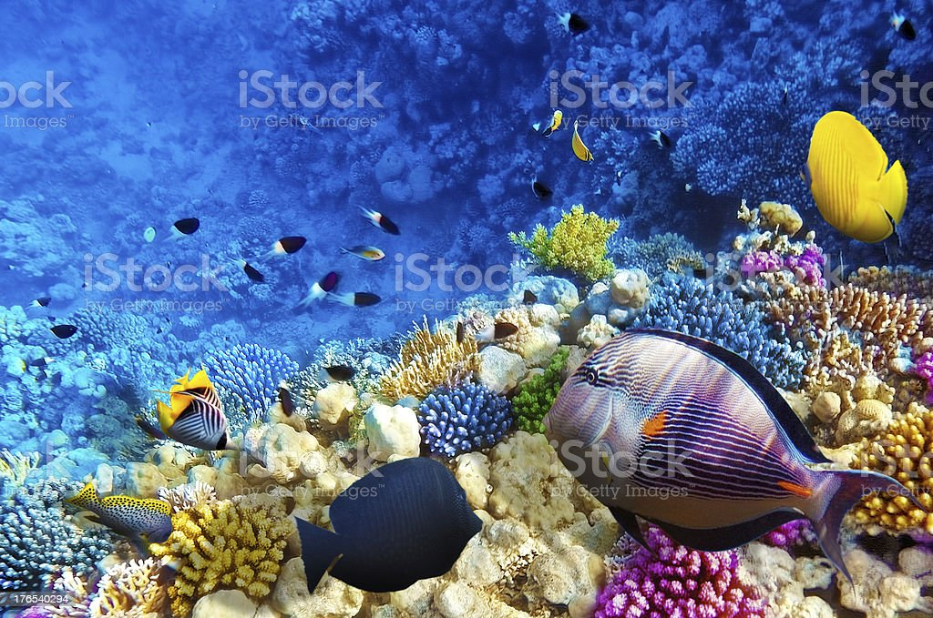 Coral and fish in the Red Sea. Egypt, Africa. stock photo