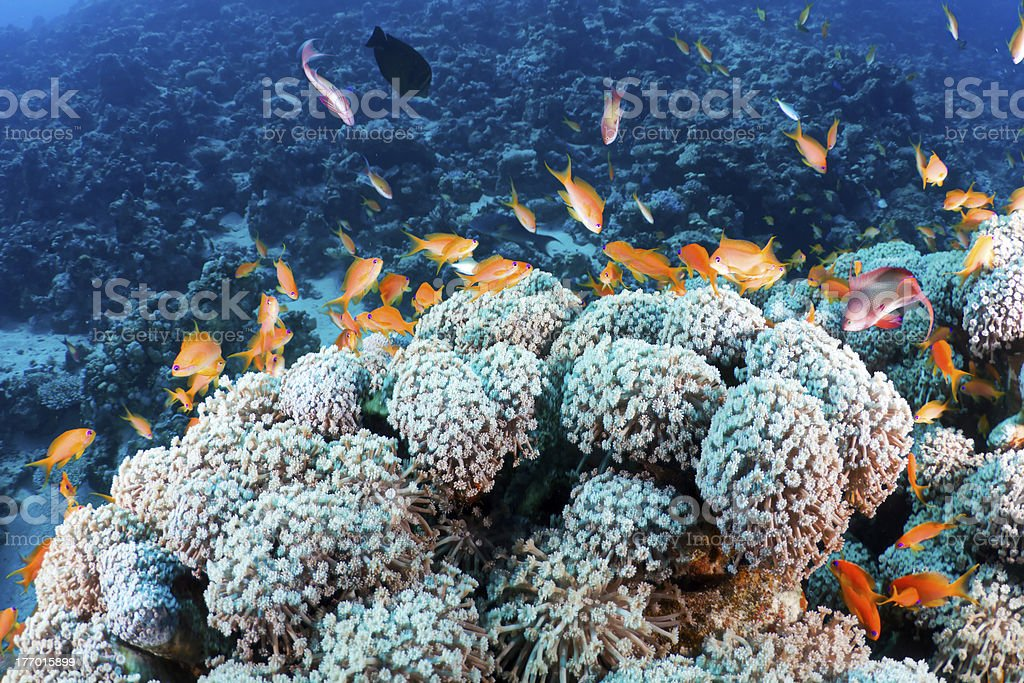 Coral and fishes royalty-free stock photo