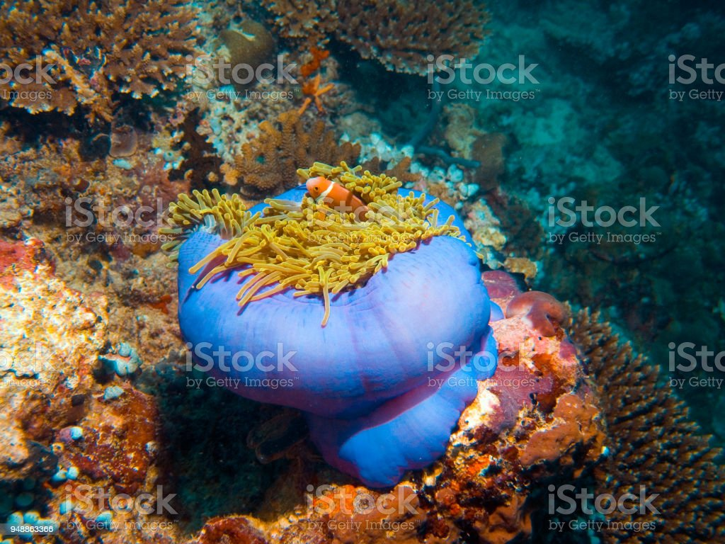 Coral anemone with clownfish stock photo