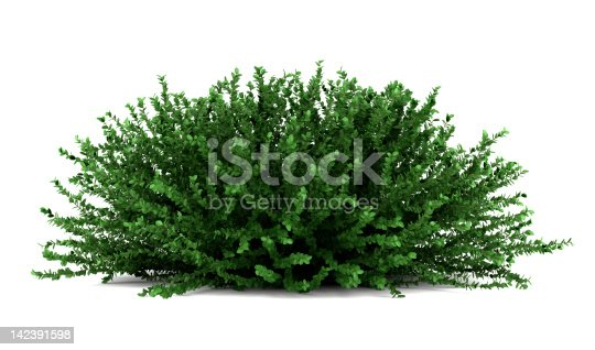 coral beauty bush isolated on white background