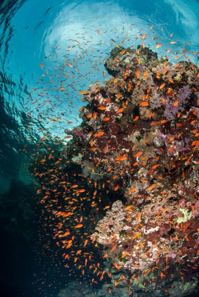 Korallenblock mit Anthias – Foto