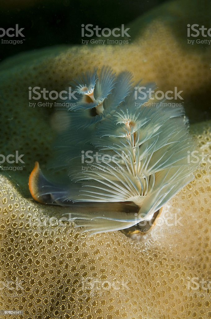 coral christmas tree worm royalty-free stock photo