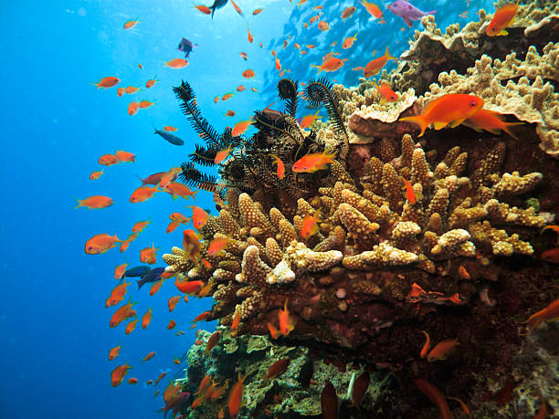 coral colony and soldier fish on great barrier reef australia - great barrier reef stock pictures, royalty-free photos & images