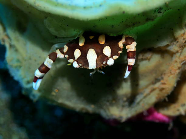 Coral crab stock photo