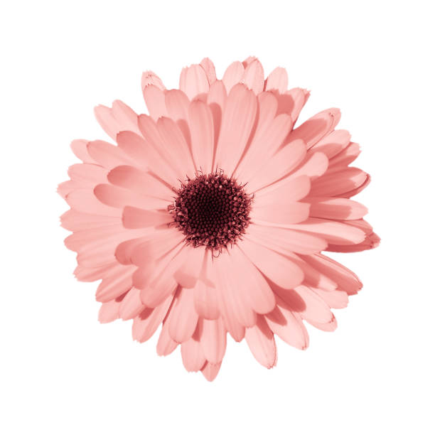 Coral daisy or chamomile isolated on white background. Coral or pink daisy, chamomile isolated on white background. Camomile flower head close up. Deep focus. flower part stock pictures, royalty-free photos & images