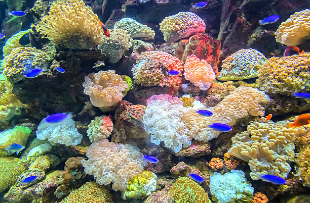 Coral ecosystems aquarium Coral ecosystems aquarium beautiful colorful false clown fish stock pictures, royalty-free photos & images