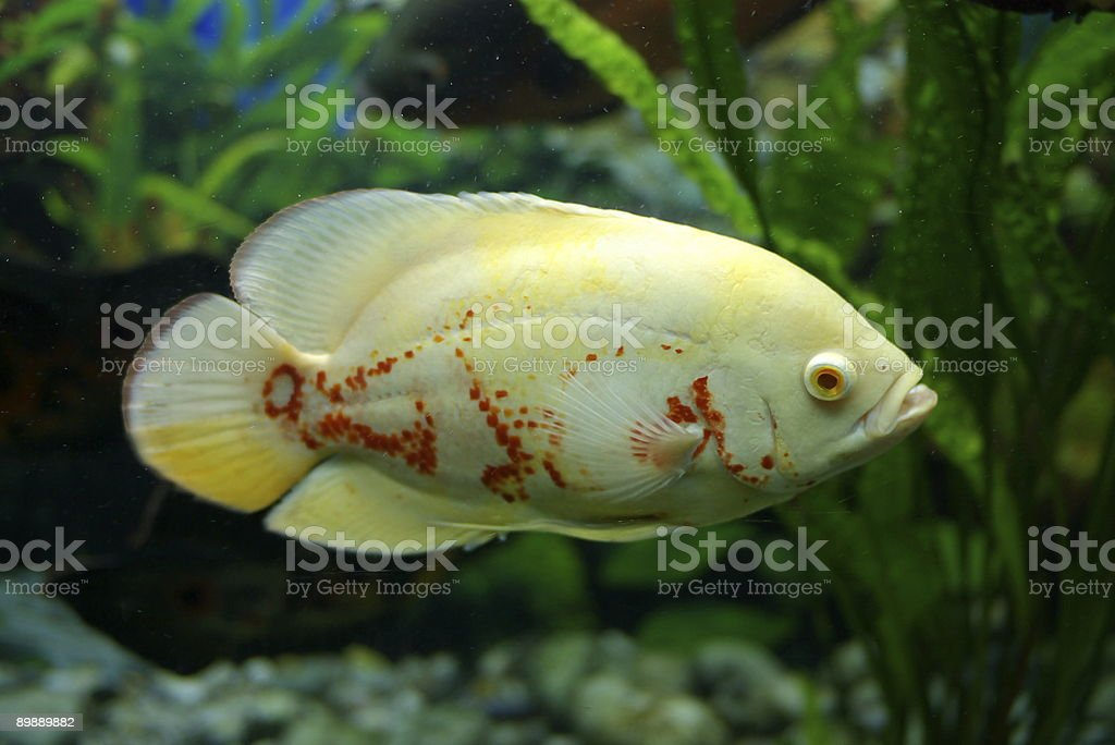 'Coral' fish royalty-free stock photo