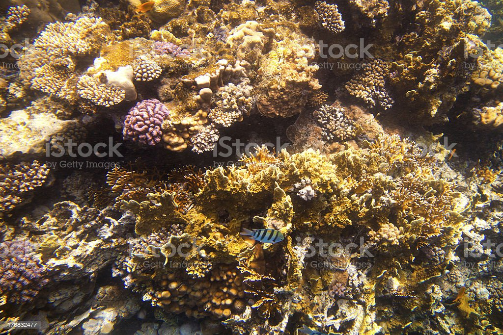 Coral fishes of Red sea. Egypt royalty-free stock photo