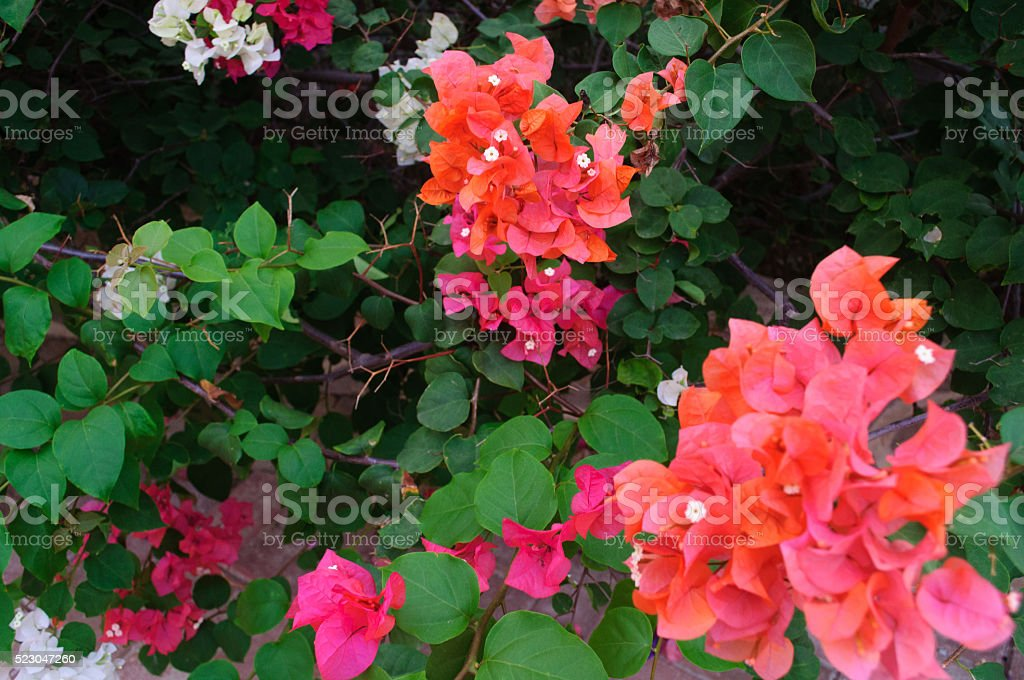 Coral Flowering Bush stock photo