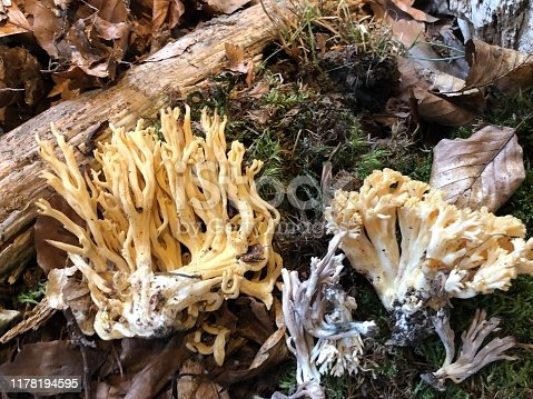 Coral fungus in the forest