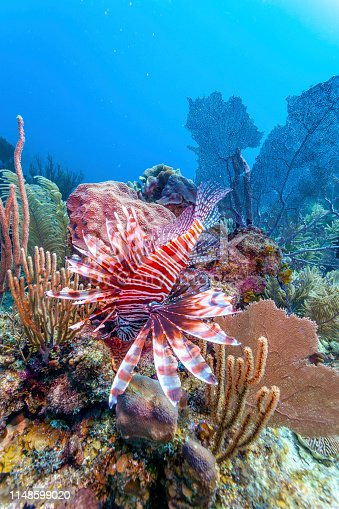 istock Coral garden in Caribbean 1148599020