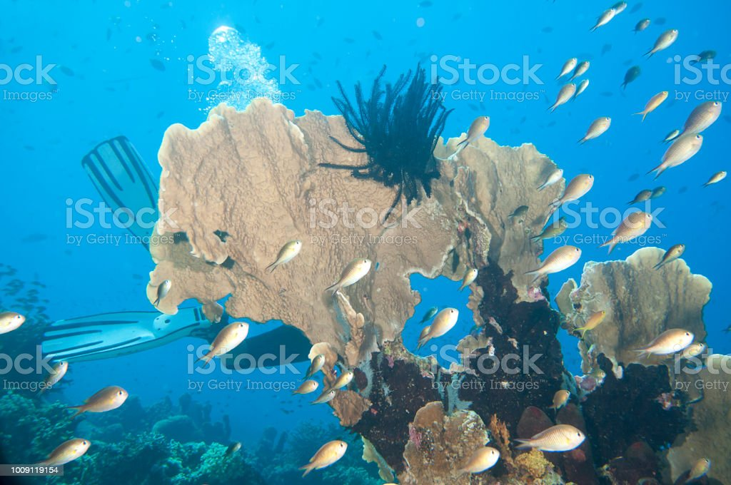 Coral garden with  a  diver and lot of fishes around, Raja Ampat, West Papua,  Indonesia stock photo