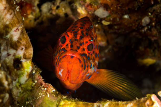 coral grouper on a coral reef stock photo