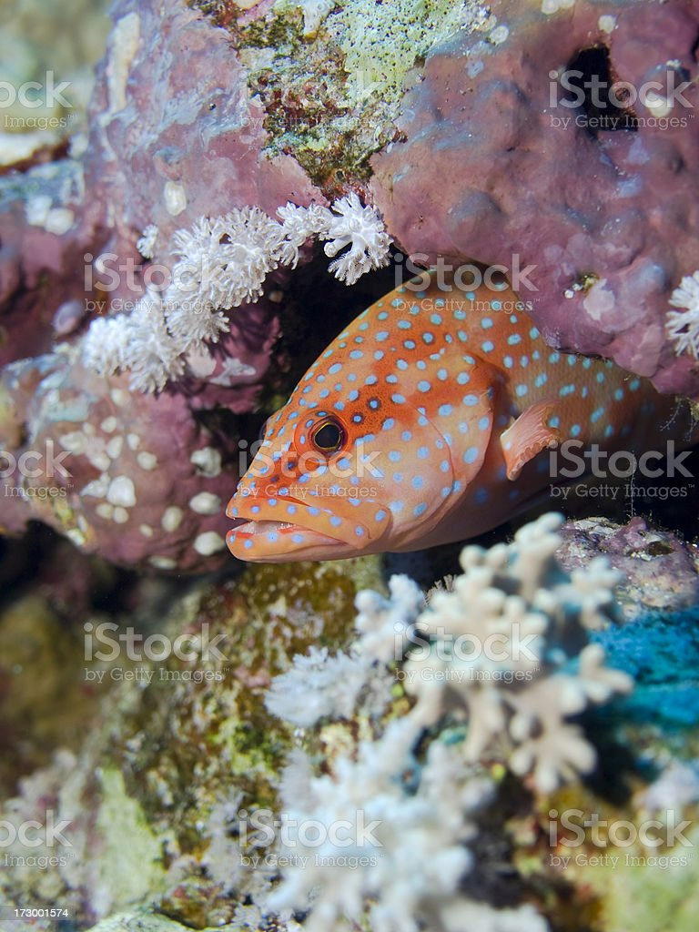 coral grouper royalty-free stock photo