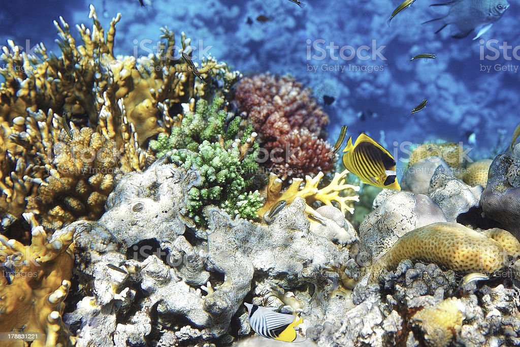 Coral in the Red Sea.Masked and diagonal butterfly.Egypt royalty-free stock photo