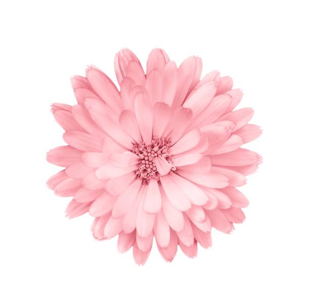 koral lub różowa stokrotka, rumianek wyizolowany na białym tle. - różowy zdjęcia i obrazy z banku zdjęć