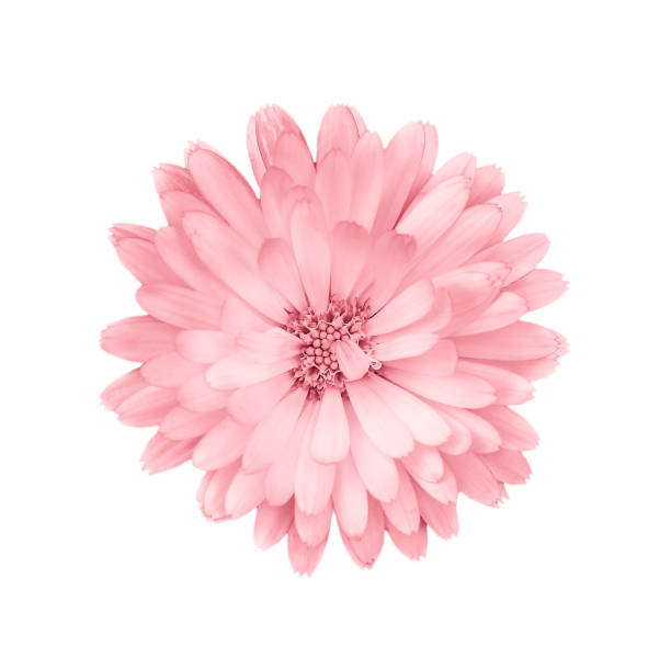 coral or pink daisy, chamomile isolated on white background. - różowy zdjęcia i obrazy z banku zdjęć
