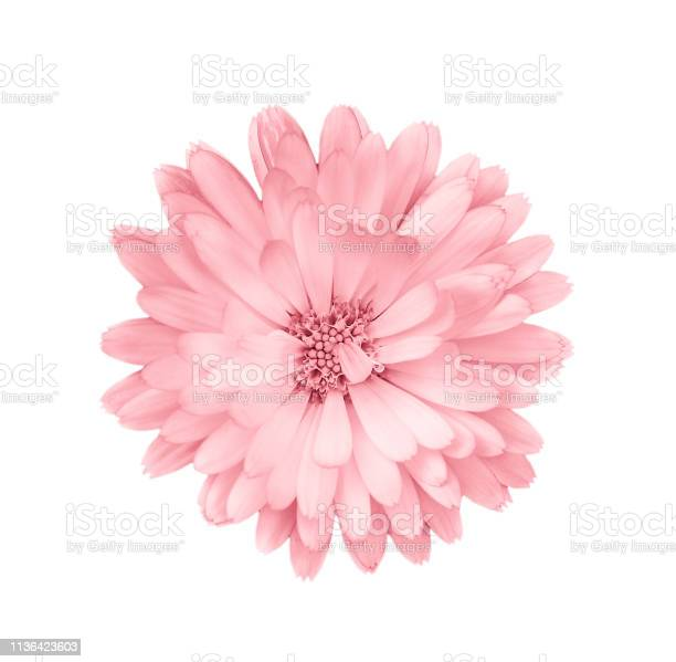 Photo of Coral or pink daisy, chamomile isolated on white background.