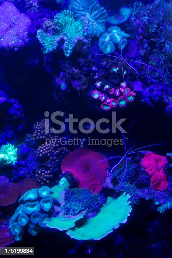 Glowing coral species in a fish tank.