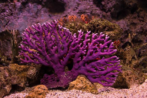 coral - coral and mauve stock-fotos und bilder