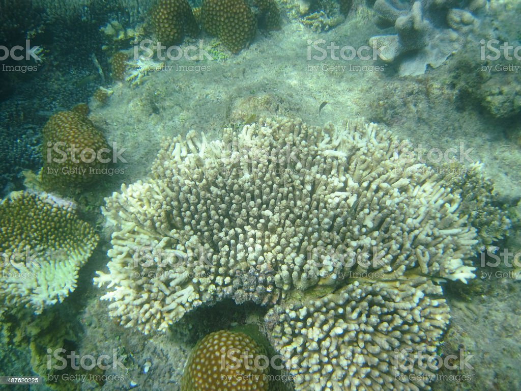 Coral royalty-free stock photo