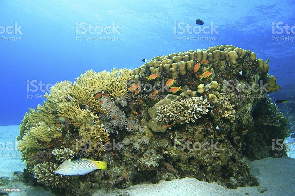 산호색 - 로열티 프리 0명 스톡 사진