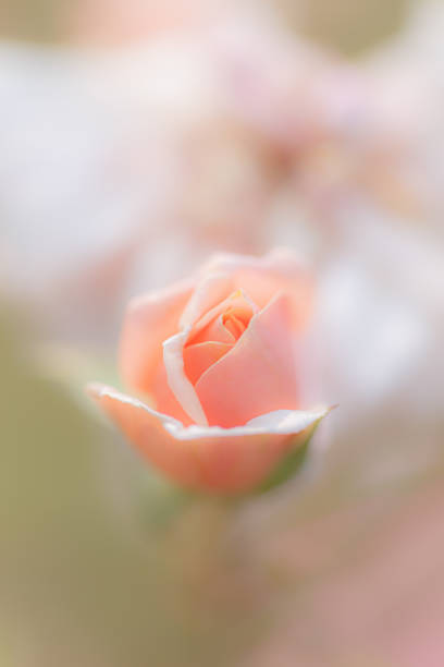 Coral pink rose bud on defocused background - vertical photograph stock photo