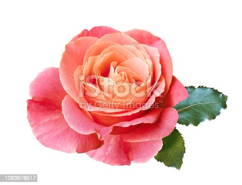 coral pink rose flower isolated on white background