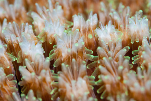 Coral Polyps Macro Coral Polyps Macro polyp corals stock pictures, royalty-free photos & images