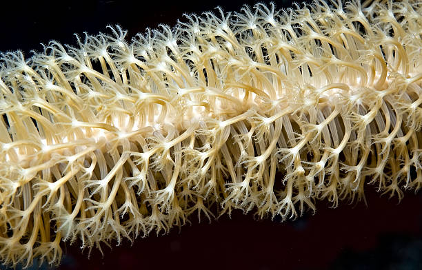 Coral polyps  polyp corals stock pictures, royalty-free photos & images